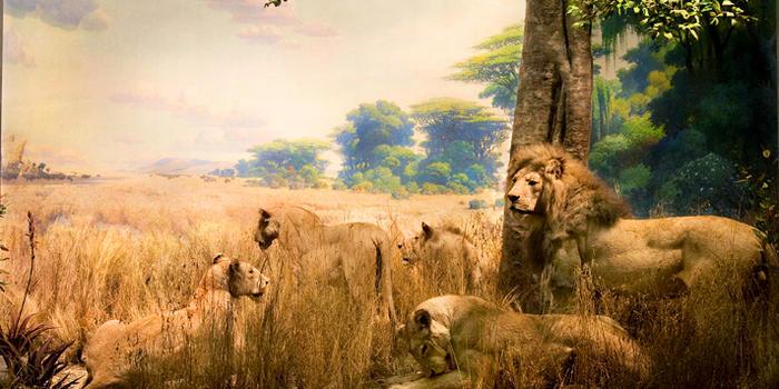 african-lions_dynamic_lead_slide